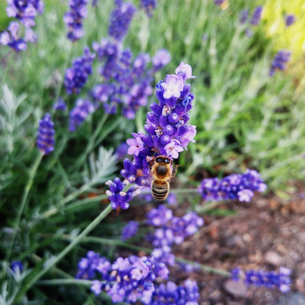 photo of gathering lavender during summer solstice rituals for litha and midsummer
