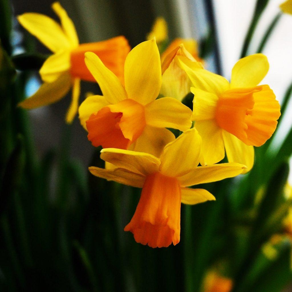 daffodils spring celebration