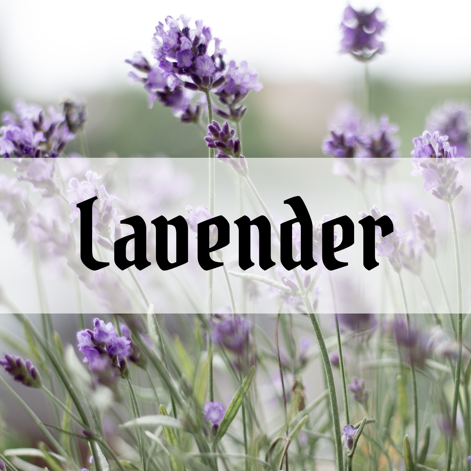 Lavender essential oil benefits and uses in alchemy, magick and spagyrics