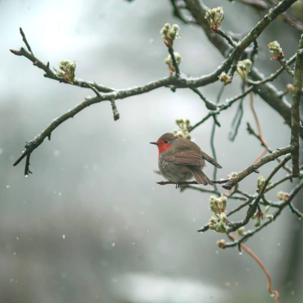 Photo of Robin during early spring time.