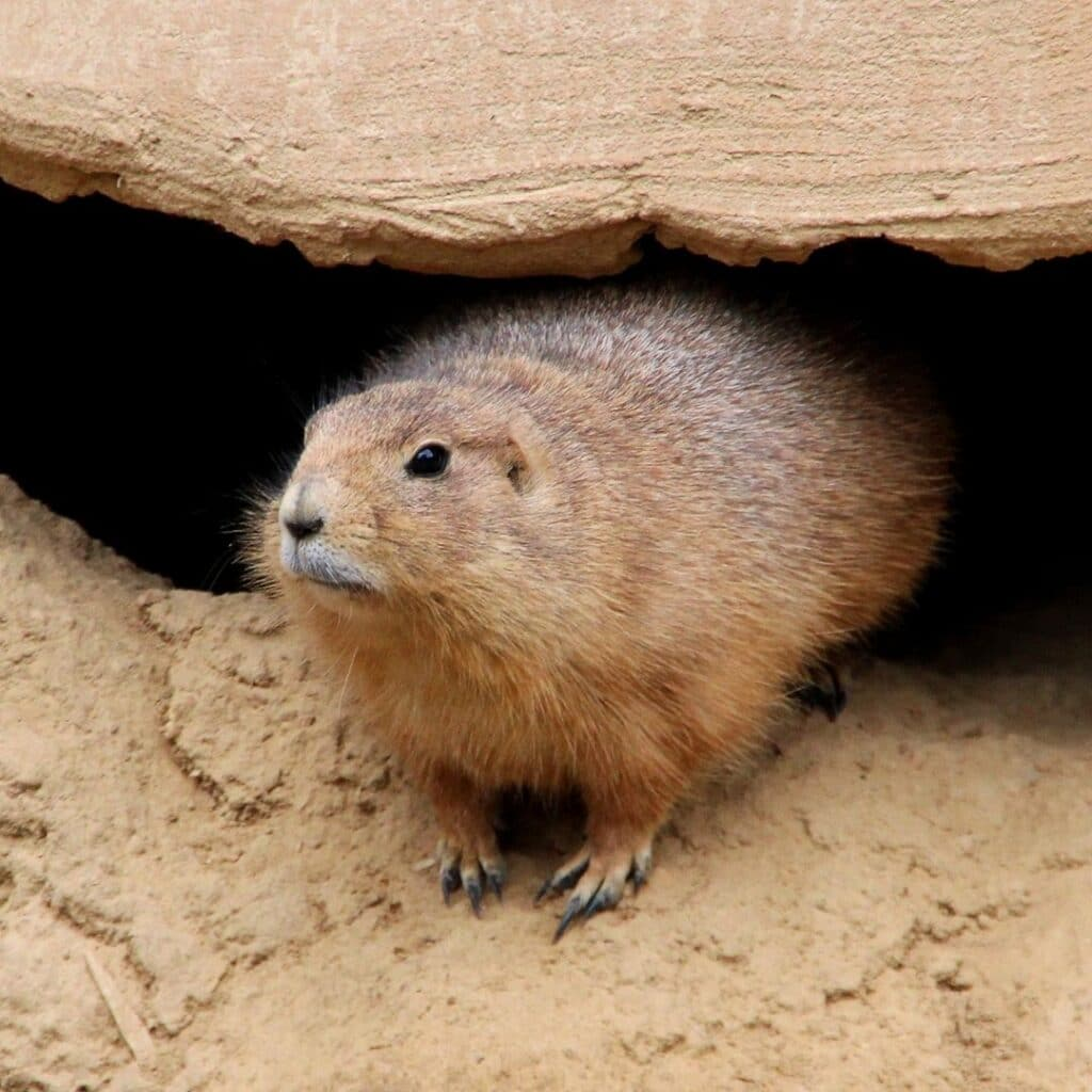 picture of groundhog