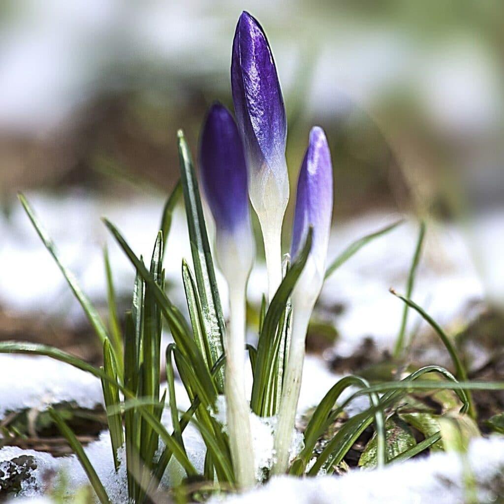 photo of a crocus piercing through the snow